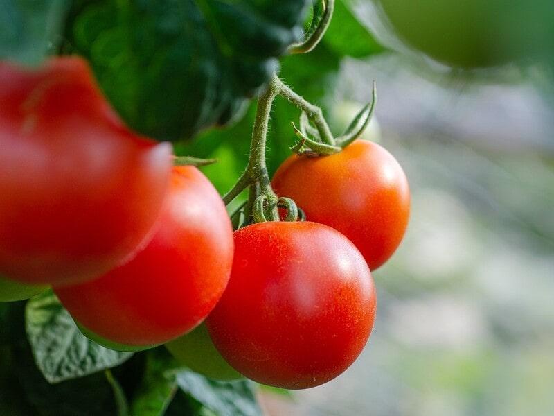 1_成っているトマトの画像